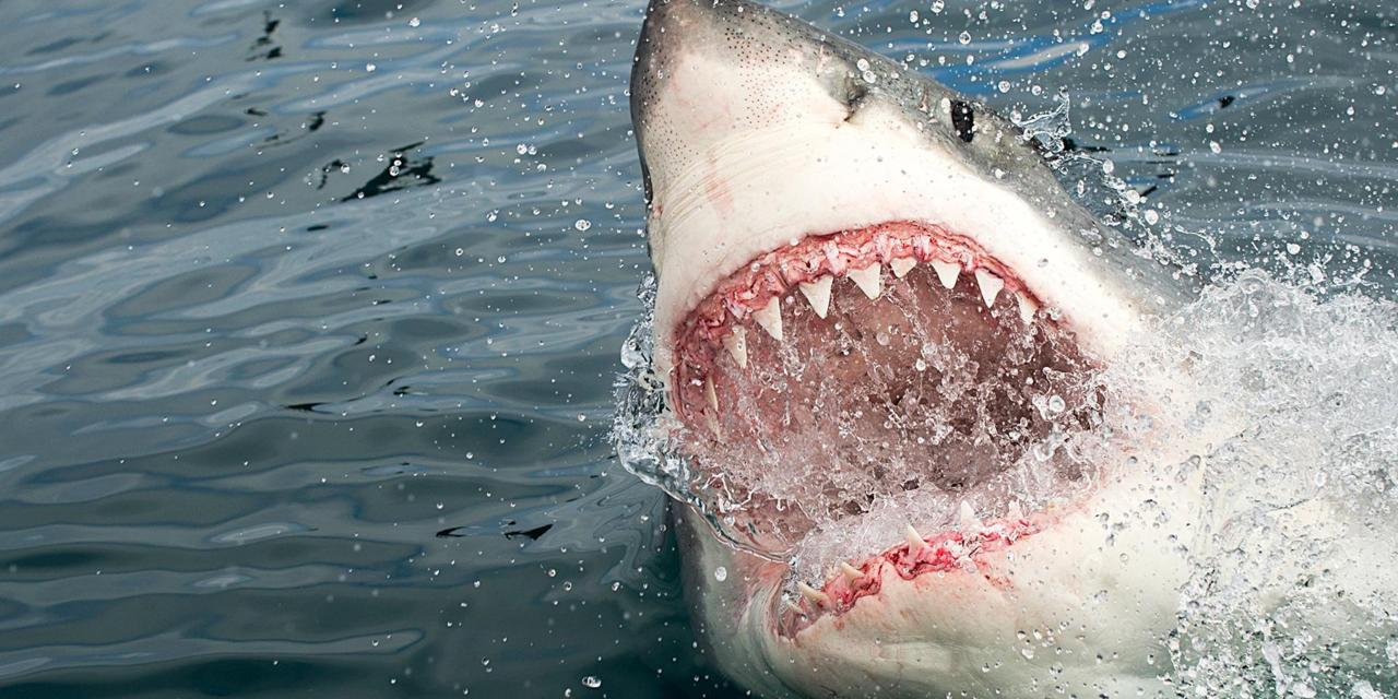 Do sharks attack humans for a reason?